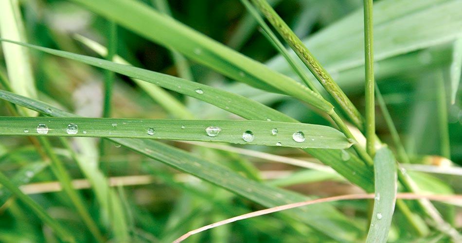 Gräser mit Wassertropfen - Landesverband der Wasser- und Bodenverbände